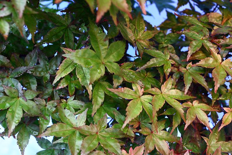 Deshojo Foliage