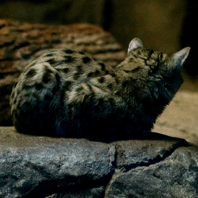 Back of a Black Footed Cat