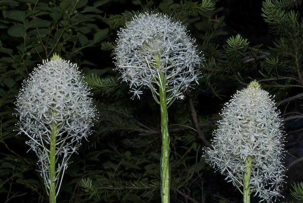 Bear-grass, Xerophyllum tenax