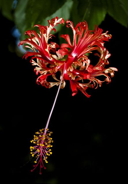 """""""Hibiscus schizopetalus"""