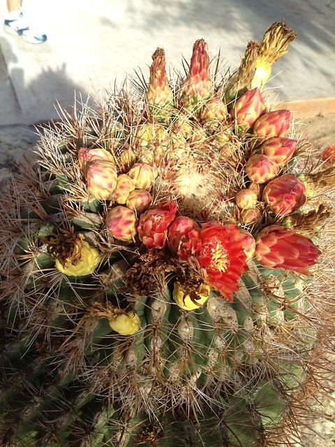Red cactus flowers (Cactaceae)