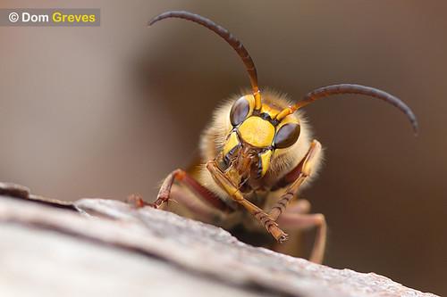 Hornet cleaning leg