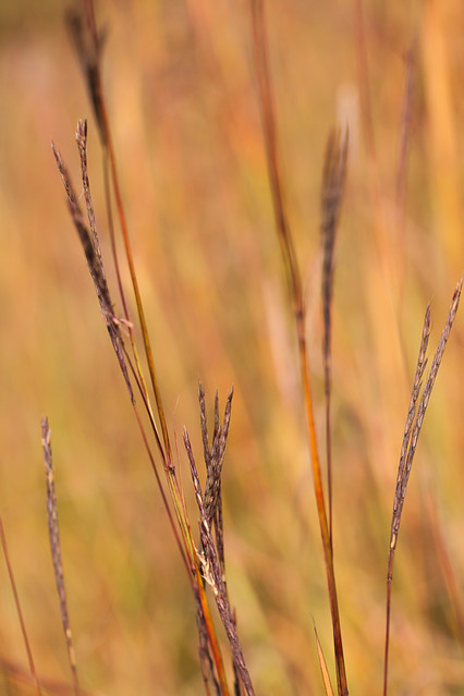 Bluestem Grasses in Tallgrass Prairie