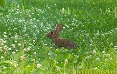 Bunny in the Clover Patch