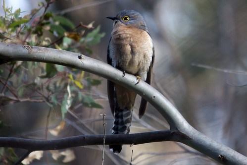 Fan-tailed Cuckoo 2012-10-05 (_MG_5099)