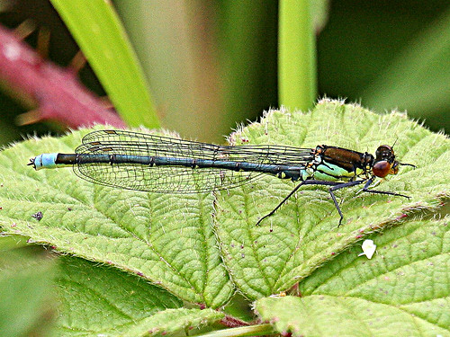 Red-eyed Damselfly, Tophill Low NR, East Yorks  2012