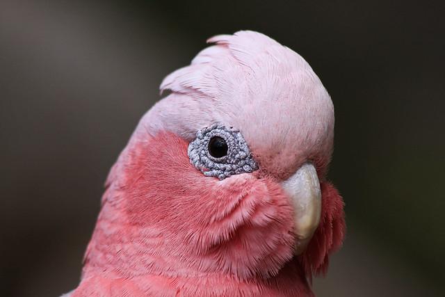 Pink & Grey Galah, Western Australia