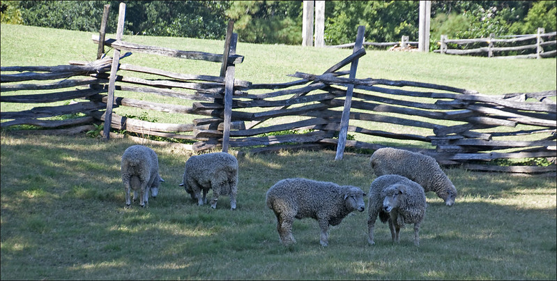 Sheep Grazing -- Williamsburg (VA) September 2012