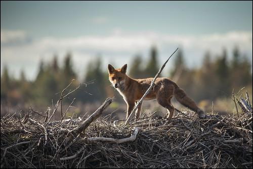 FOD FOX by Ben Locke (Ben909)