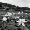 lotus by Hiroyuki Okamoto