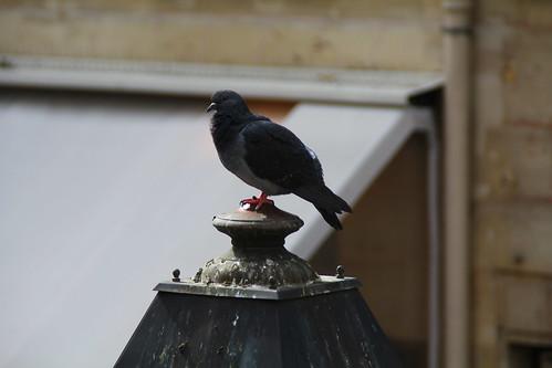 Pigeon posing