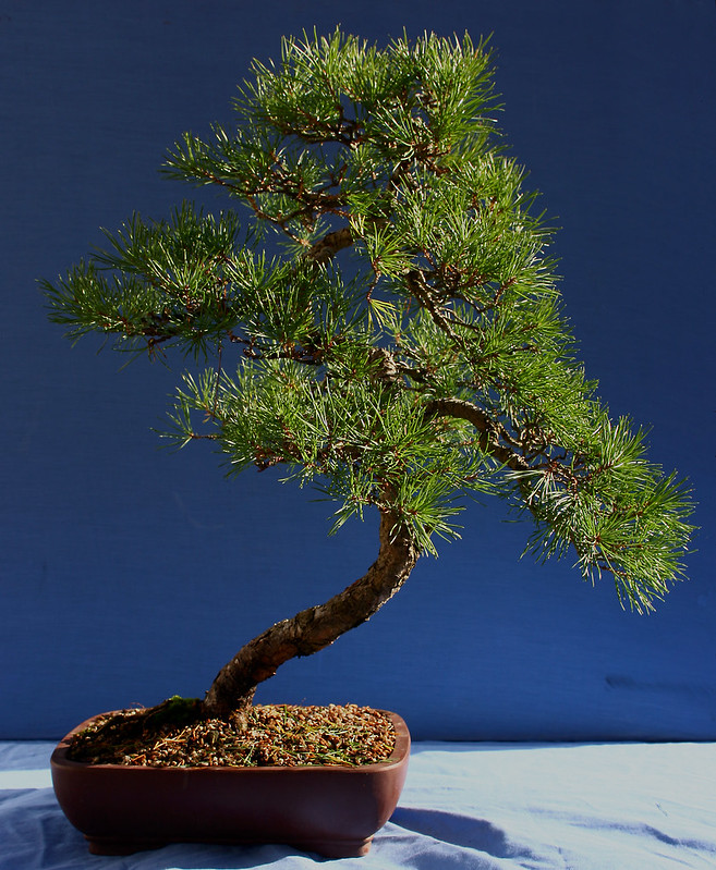 Scots Pine Front Oct 2012