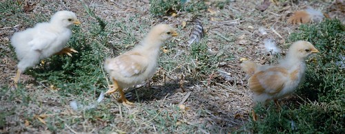 baby chicks (1280x498)