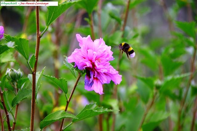 Abejorro o moscardón,  cerca de la flor #Photography 6