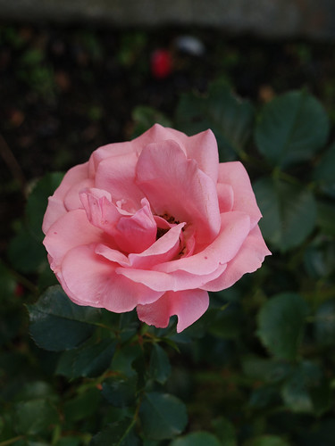 260/366 - Pink by Flubie