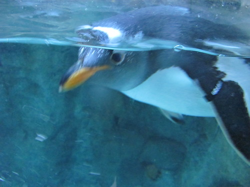gentoo penguin watching us