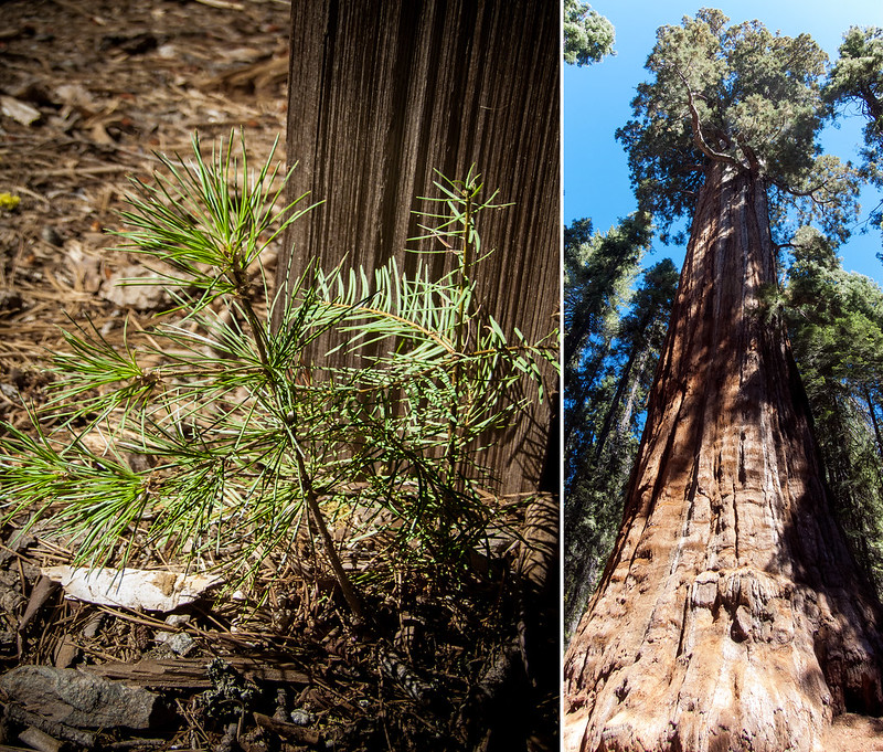 Seed sprout become giant sequoia