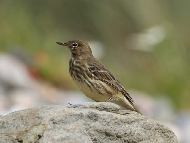 2012_08_17 WP - Rock Pipit (Anthus petrosus) 04