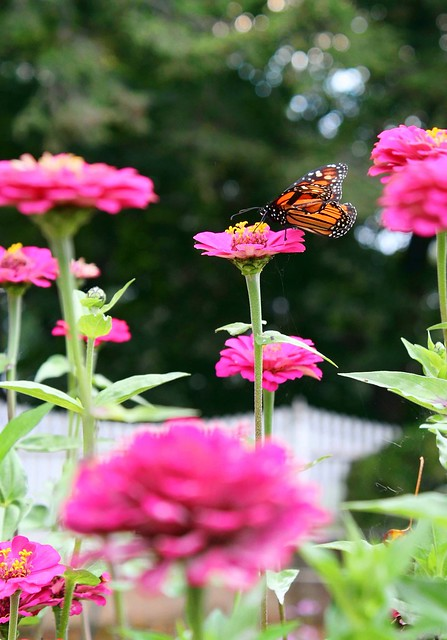 A Monarch butterfly enjoys the resting pad provided by a fuchsia zinnia.