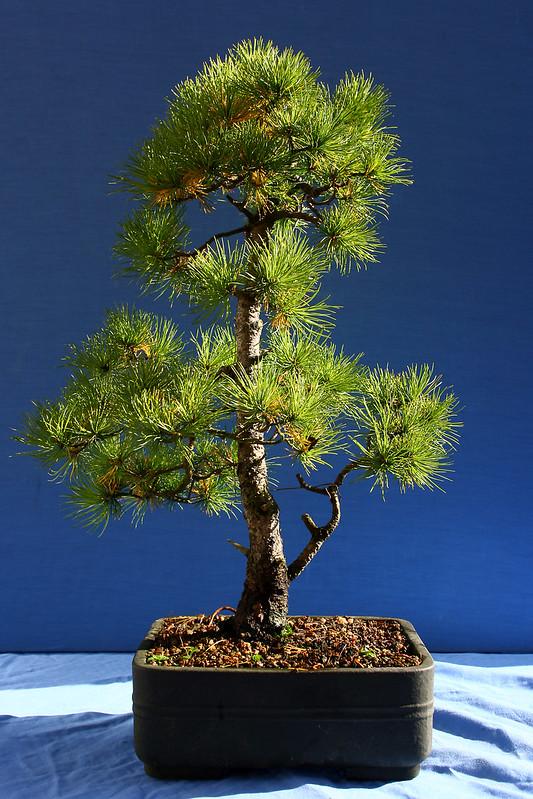Noelanders White Pine 2