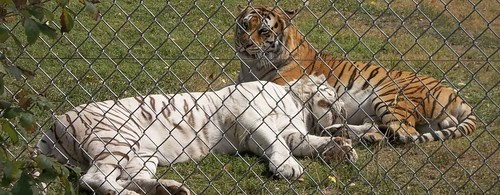 begal tigers (1280x498)