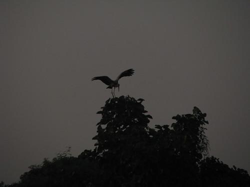 A greyedback crane by mdashf