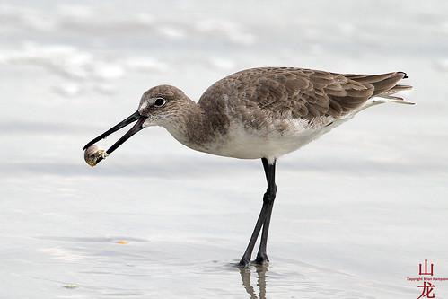 Unknown shorebird