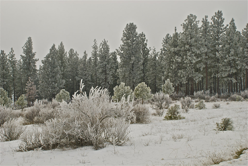 Frosty pines