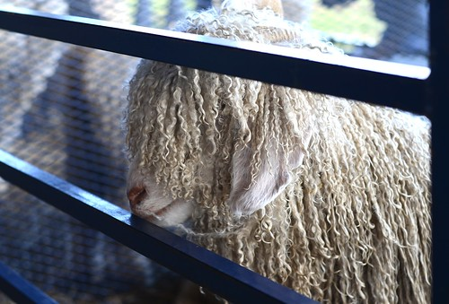 Oct20-Sheep6