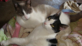 domestic cats, black and white, simese