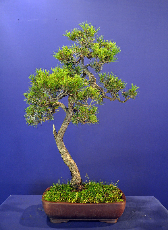 Scots Pine original_1