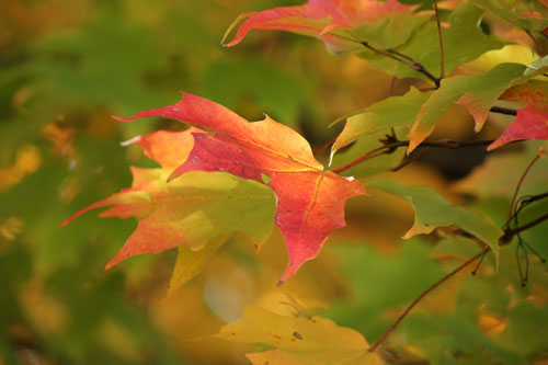 Sugar Maple leaves, turning for Fall