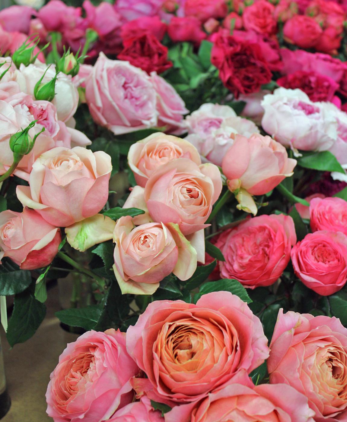 harvest-rose-2