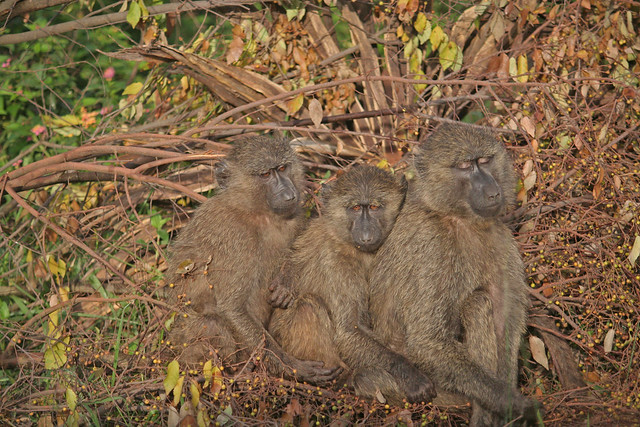 3 baboons