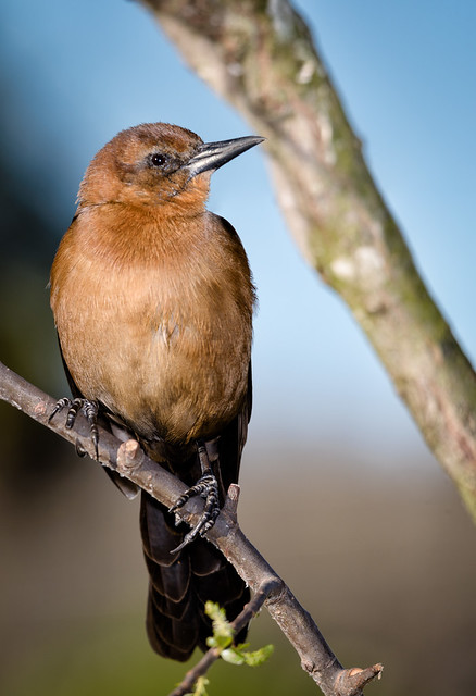 Female Boat-tailed Grackle