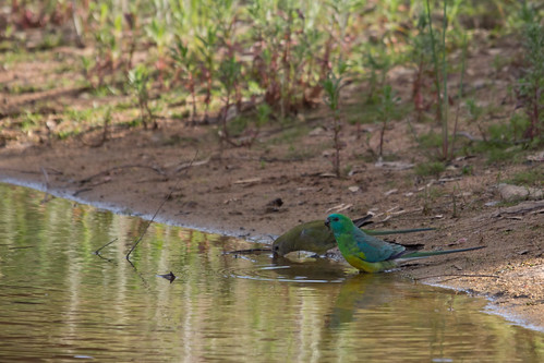Red-rumped Parrot 2012-10-20 (_MG_5848)