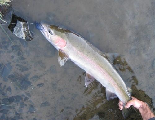 Wild Deschutes River Steelhead