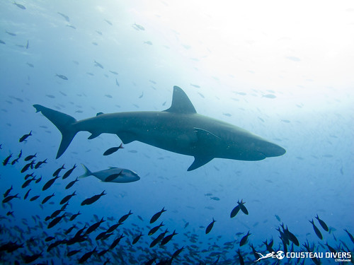 Silky Shark in the Galapagos