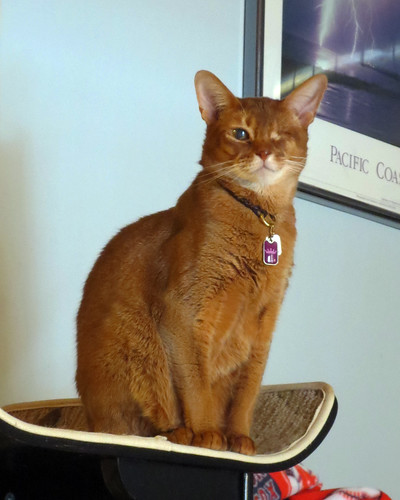 Abyssinian Cat Rescue Northern California