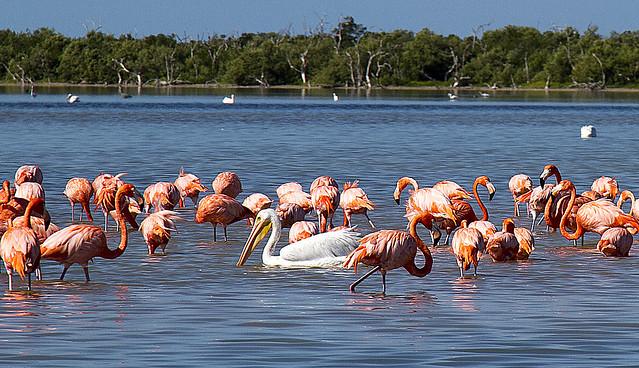 flamencos rosa en rio lagartos, yucantan, méxico