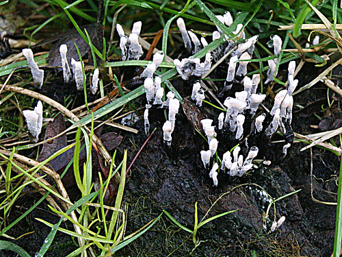 Candle Snuff Xylaria hypoxylon Tophill Low NR, East Yorks, Nov 12
