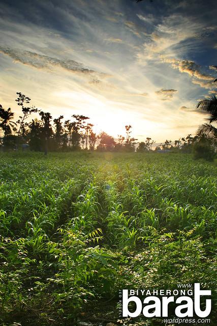 Cornfields Madridejos Bantayan Island Cebu