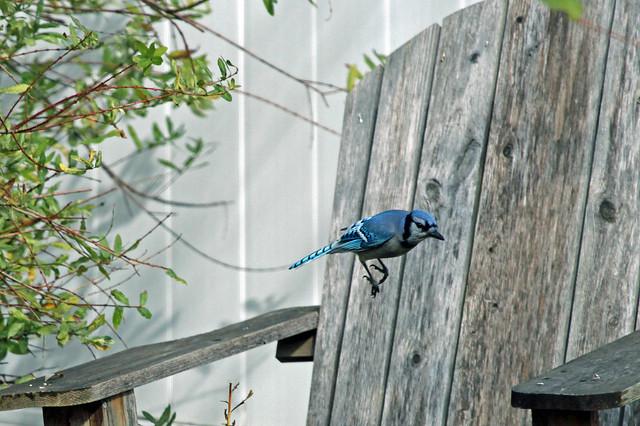 11/04/12 - Blue Jay jump