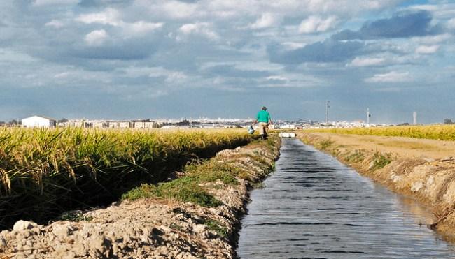Un hombre camina sobre un almorrón entre el arrozal y el canal en busca de cangrejos en La Puebla del Río, Sevilla