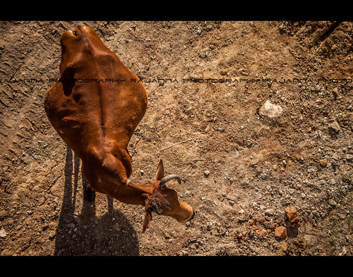 பசு மாடு - Cow by Rajanna @ Rajanna Photography