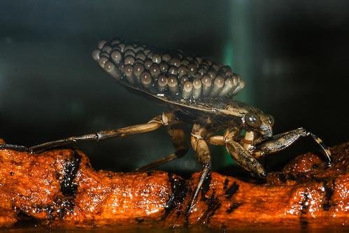 Giant Water Bug (Belostomatidae)