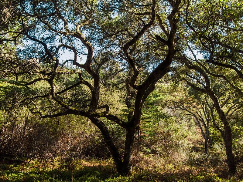 California Oak woodland, Pulgas Ridge Open Space Preserve