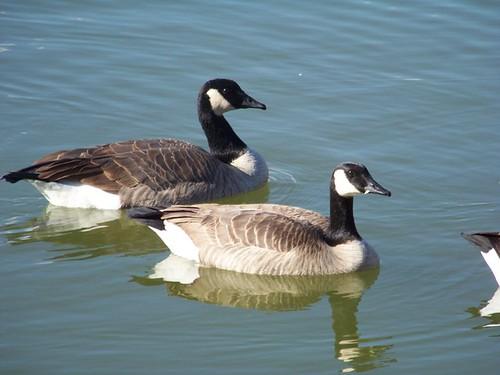 goose 033