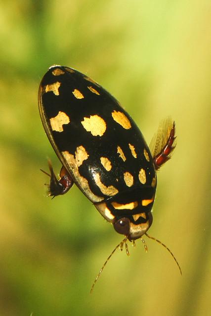 Sunburst Diving Beetle (Thermonectus marmoratus)