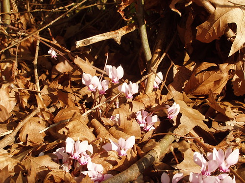 201211180174_Derekoy-H3-run-cyclamen